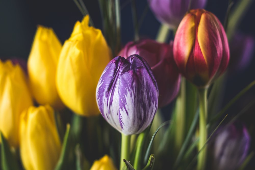 Tulips - Tulips are an elegant flower often given on Valentine's Day, whether as a stand alone bouquet or arranged with different flowers.