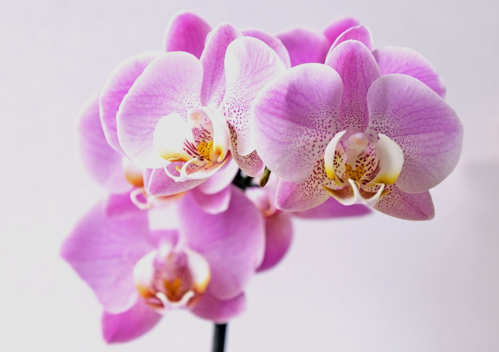 Orchids - Orchids are often given on Valentine's Day and are cherished for their beautiful colours and patterns.