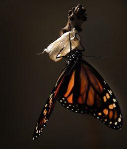 emerging-butterfly-256x300.jpg