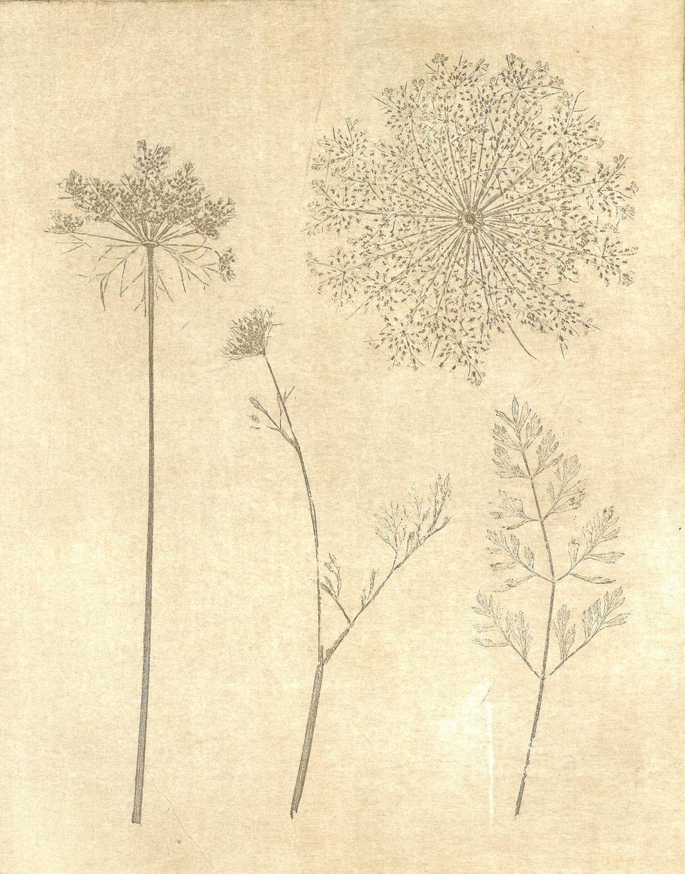 - Daucus carotaBird's nest*Bishop's laceCarrotFool's parsleyQueen Anne's lace*Wild carrot*