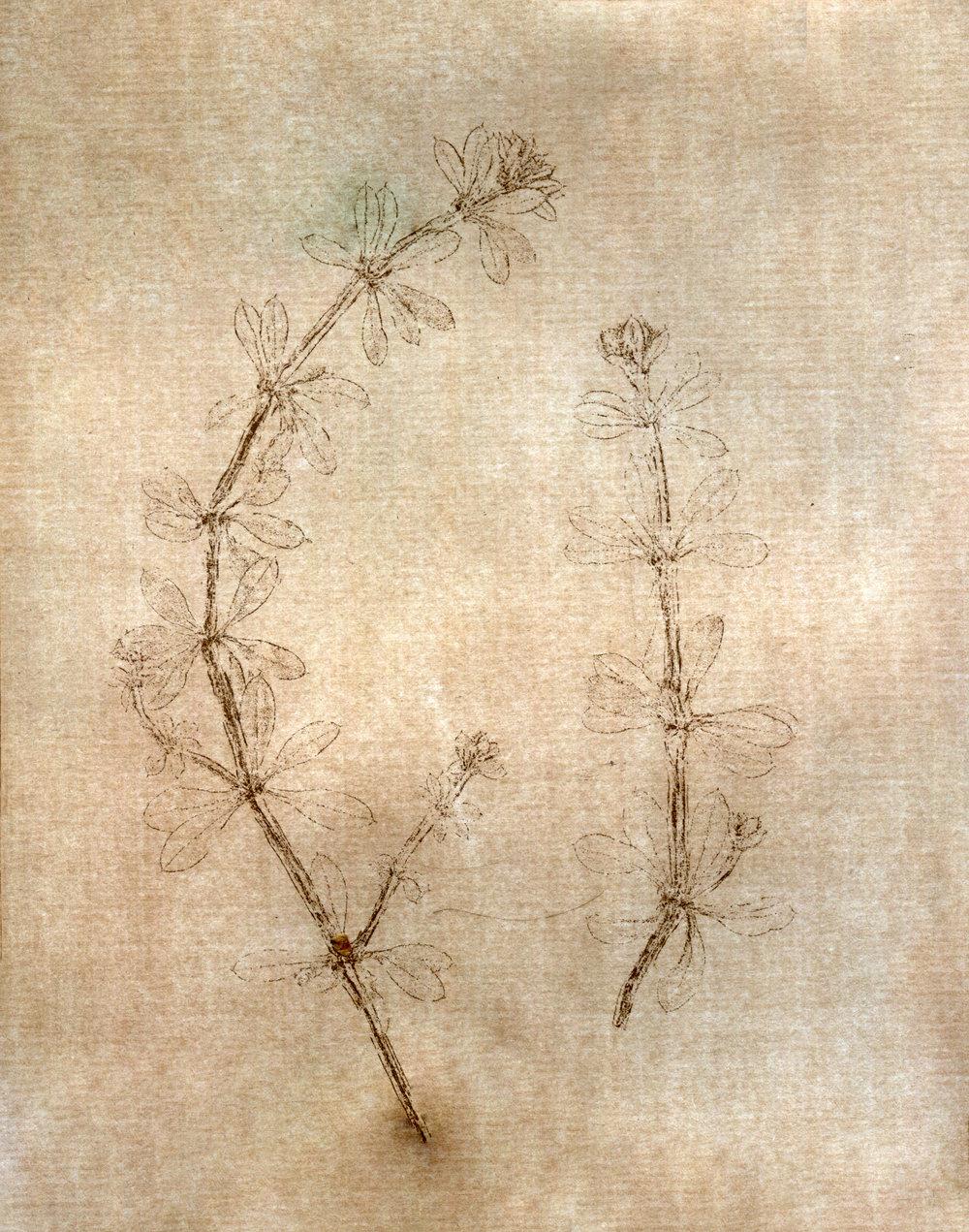 - Galium aparineBedstrawBurrsCatchweedCleaversCliversGoosegrassGreyhound asparagusGrip grassStickyweedRobin-run-the-hedgeSticky budSticky willySticky willowVelcro weed