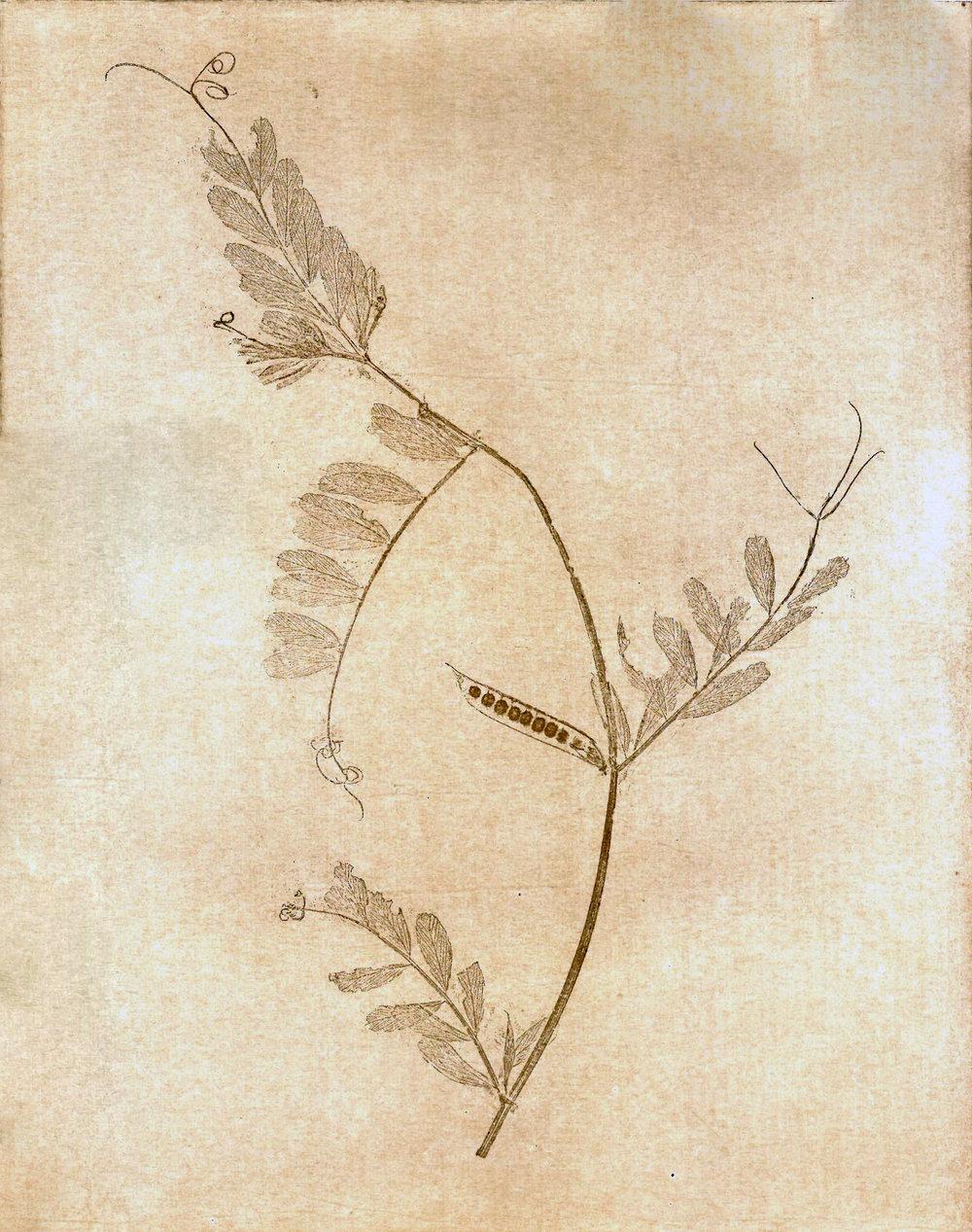 - Vicia sativa subsp. segetalisCommon vetchGarden vetchNarrowlef vetchTare