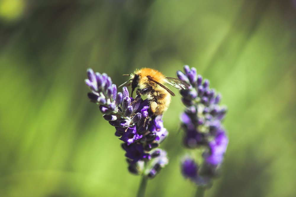 lavender and bee.jpeg