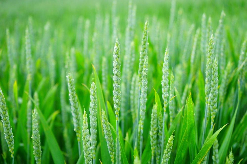 wheat-1117267_1920.jpg