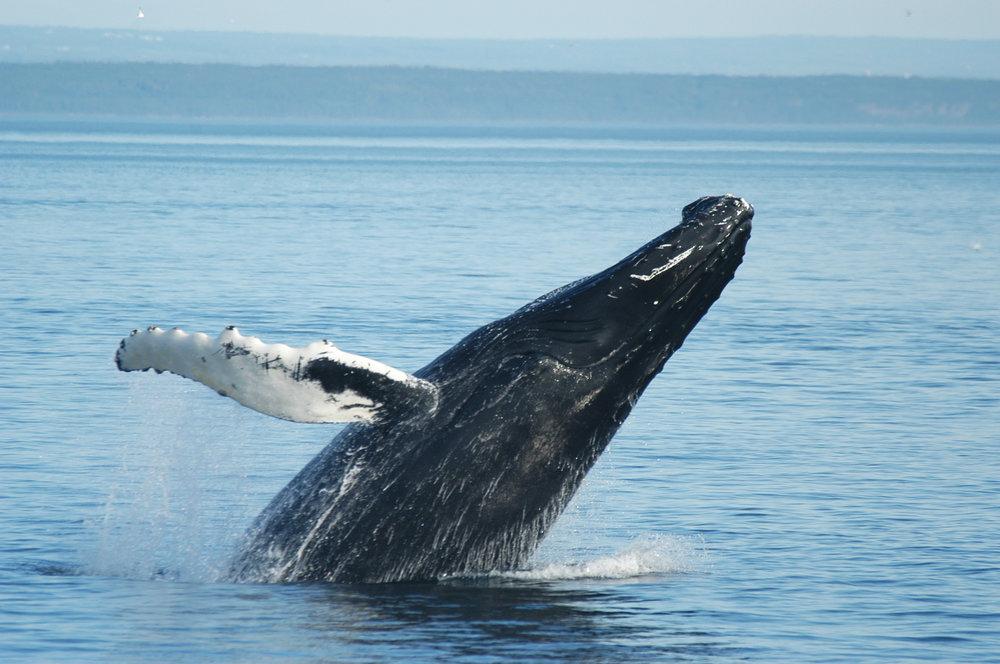 Campagne baleine - (22 mai au 20 août 2017)Promouvoir l'activité d'observation des baleines dans 3 régions du Québec.Marchés ciblesÉtats-Unis, Québec et Nouveau-BrunswickObjectifsAugmenter la notoriétéGénérer l'intérêtPromouvoir le site viensvoirlesbaleines.comAccéler la transition Web des partenaires.Résultats+ de 150 000 visiteurs 9 921 clics sur des sites partenaires