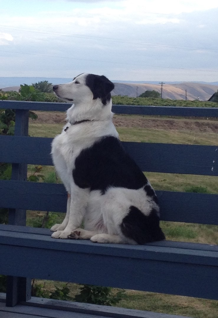 Head of Security - When Tex isn't busy chasing sage rats, and patrolling the vineyard he loves to take a moment to enjoy the fine Pacific North West air. Working hard from dawn till dusk he'll likely be the first face you see when visiting, and the last when you leave.