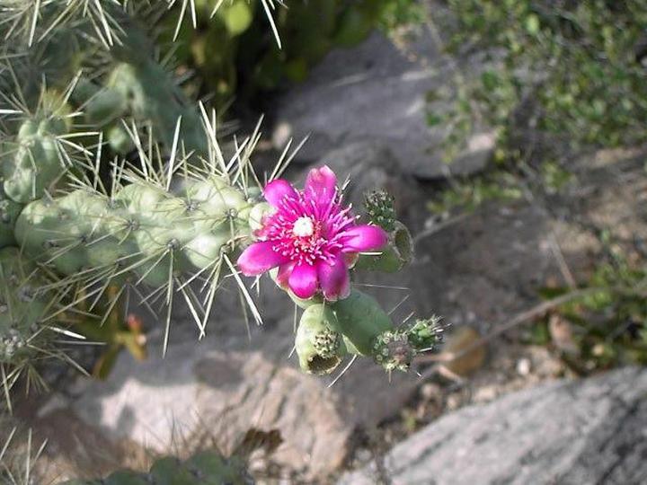 Cholla-red-flower2.jpg