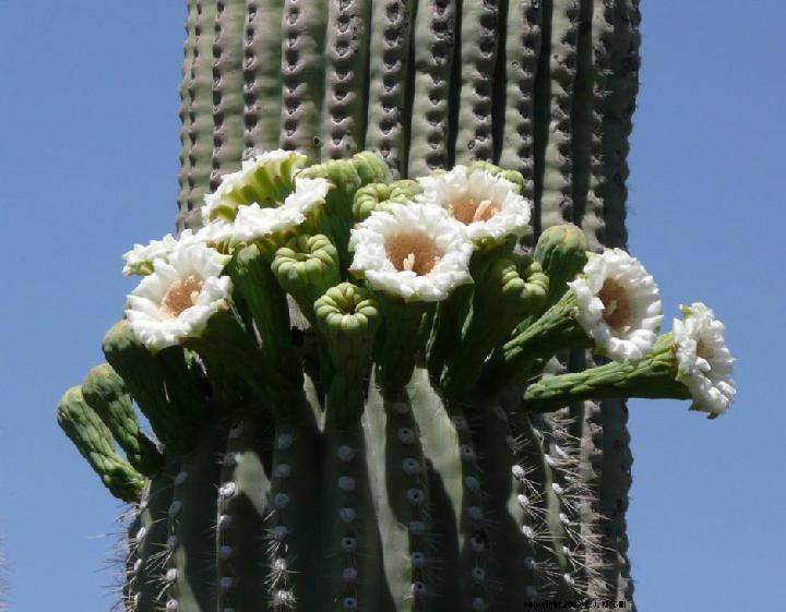 saguaro-blooms.jpg