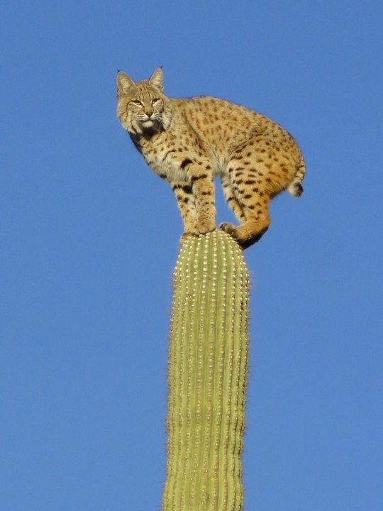 bobcat_2012.jpg