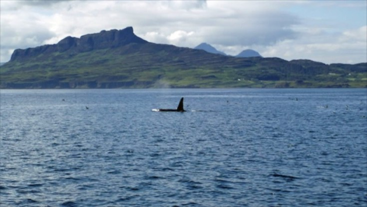 Orca with the Isle of Eigg in the background and the peaks of Rum in the distance.                                                        Click photo for source – Wilderness Scotland