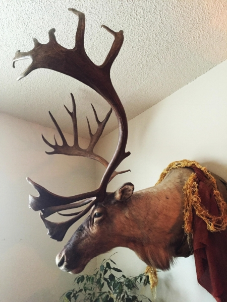 I have in my home a mounted caribou which I rescued from an estate sale.