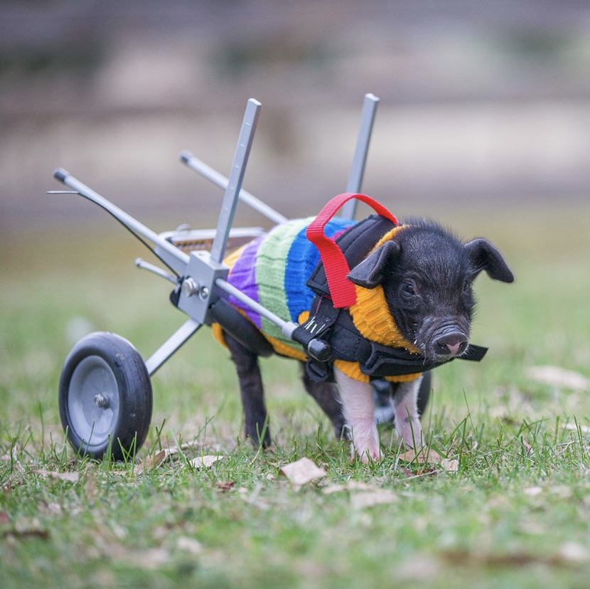 Leon Trotsky had an accident when he was a wee piglet and crushed his limbs, but not his determination to survive.