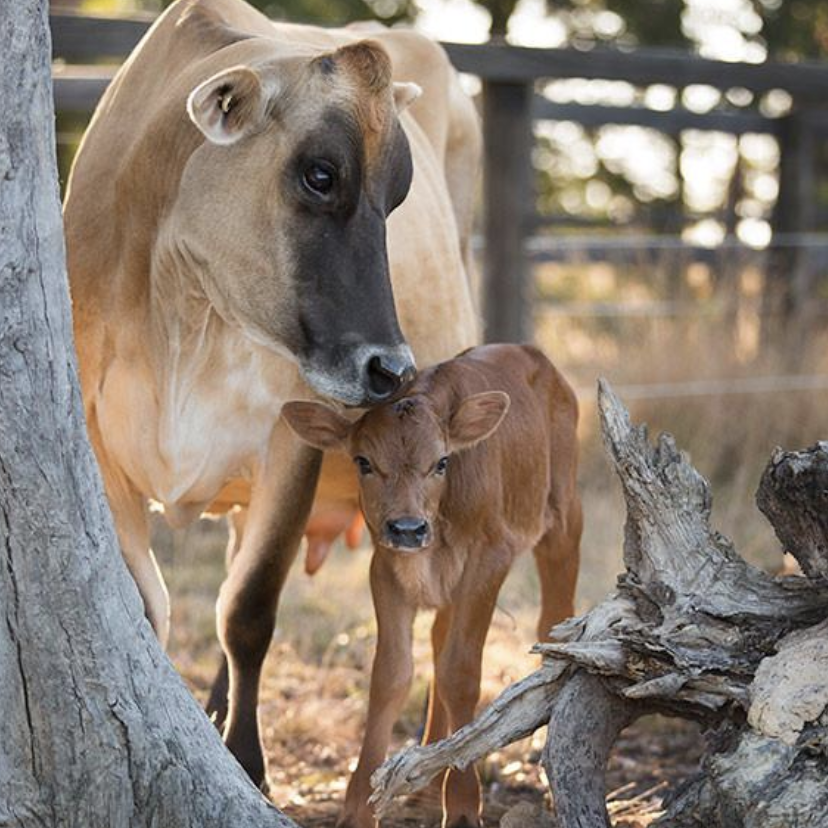 Valentine the cow was rescued from a dairy farm, still in her pregnant mumma's tummy. Her mother, Clarabelle, had had all her previous babies taken from her shortly after birth to be used for dairy production, but Valentine was the one she got to keep.