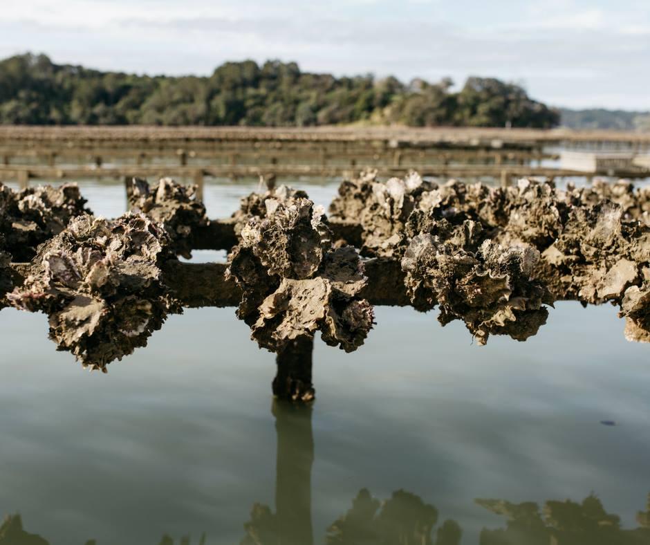 Mahurangi Oysters