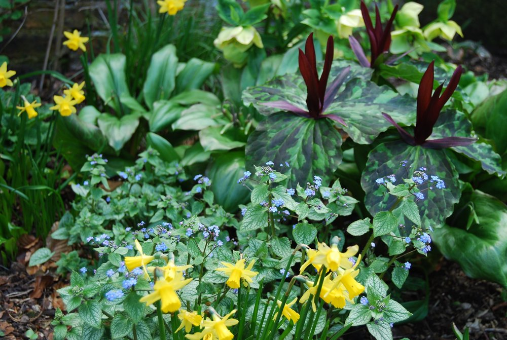 Trillium chloropetalum, forget-me-not & narcissi