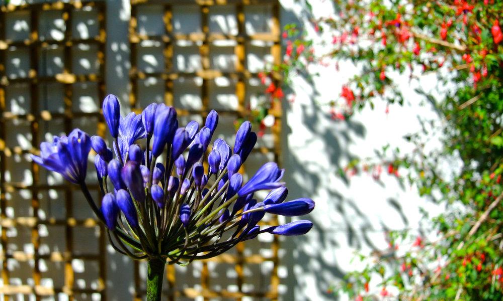 Freddie's Flowers Agapanthus Image.jpg