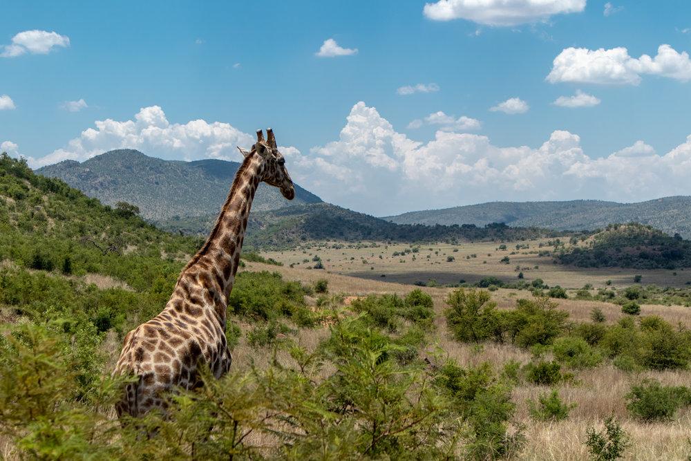 Lady Leopard Pilanesberg National Park.jpg