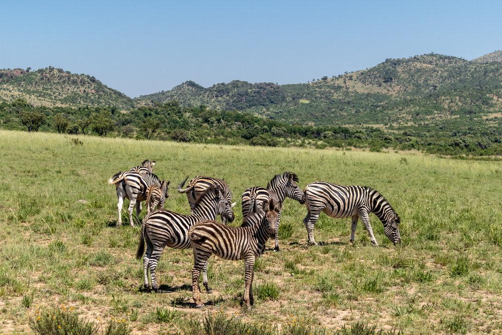 Lady Leopard Zebras Pilanesberg.jpg