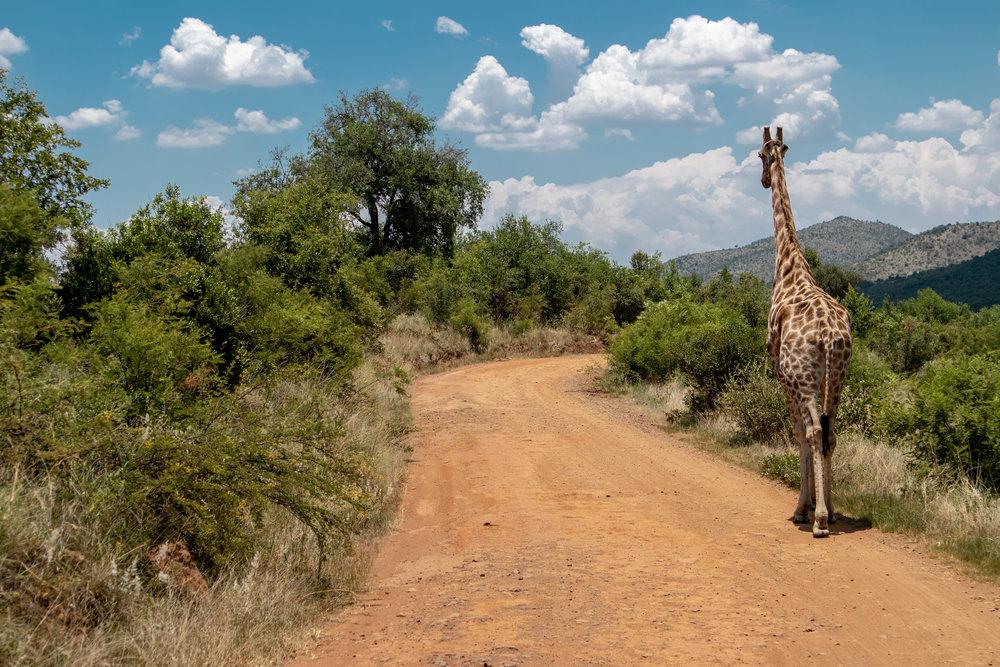 Samantha Gibb Photography Giraffe Pilanesberg South Africa.jpg