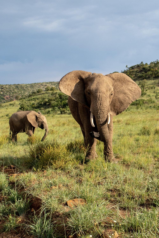 Lady Leopard Elephant Pilanesberg.jpg