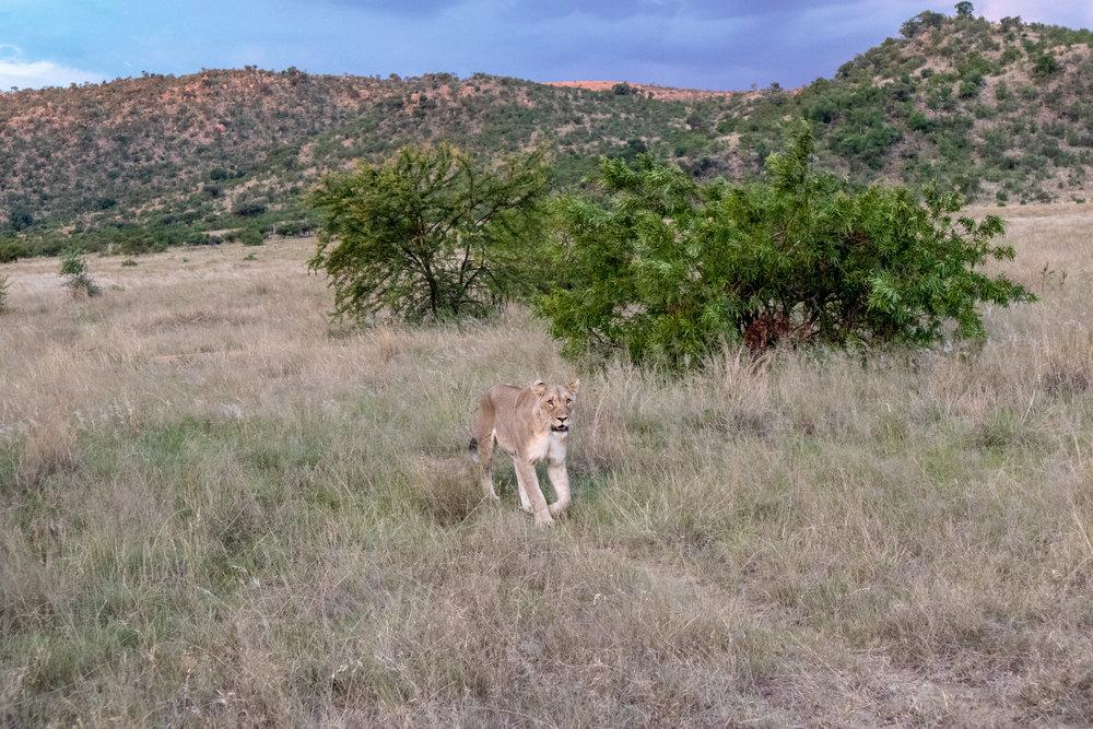 Lady Leopard Lioness Pilanesberg.jpg