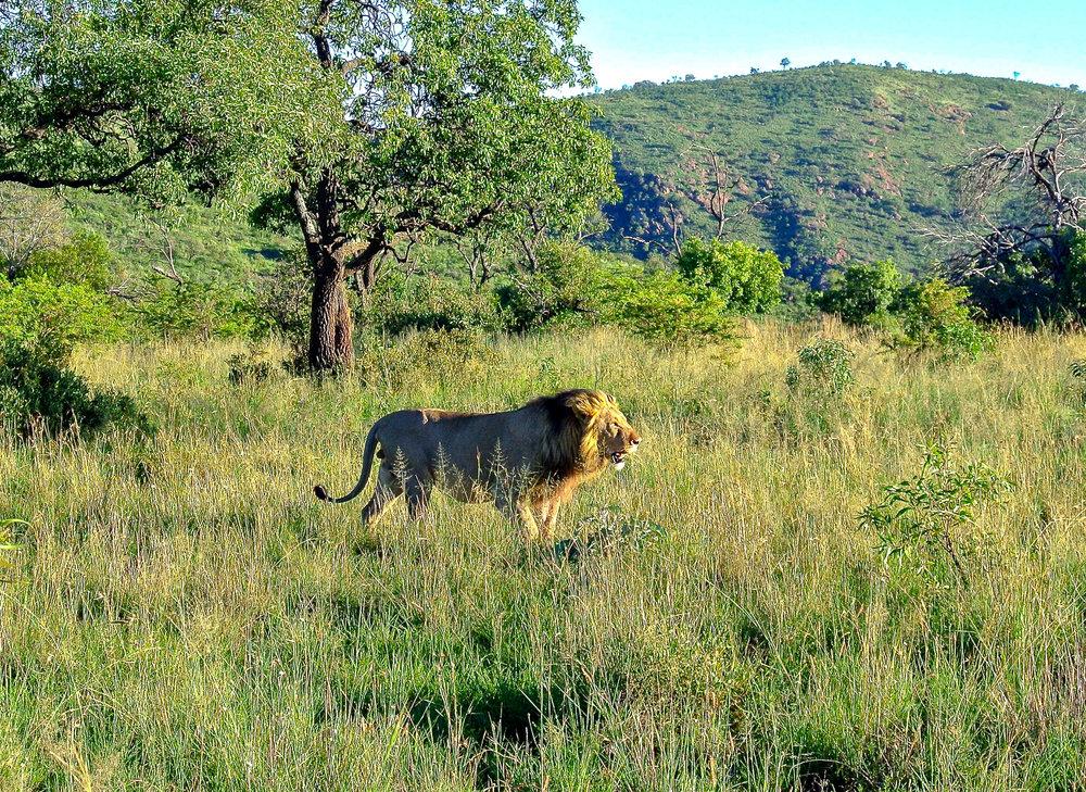 Lady Leopard Lion Pilanesberg.jpg.jpg