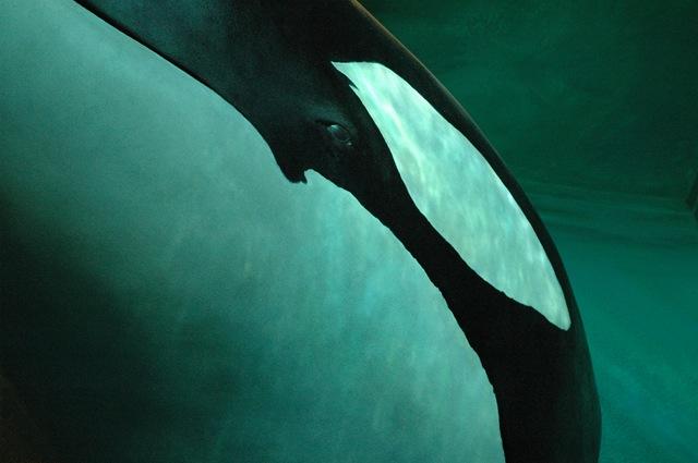 orca head 2_moo-sb_Orca218_3_moo1-1p3_.jpg