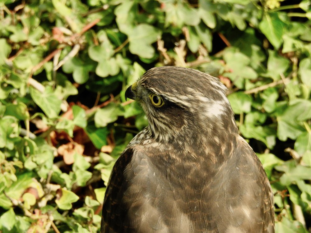 The sparrowhawk on our hedge, before devouring a sparrow