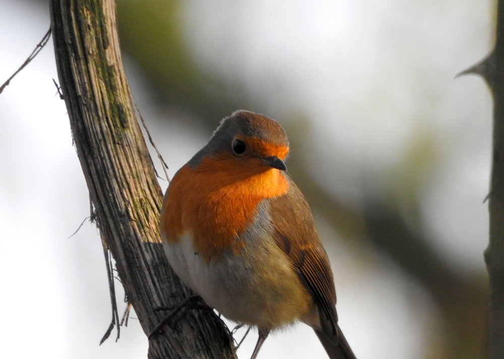 A tiny robin in the sunlight