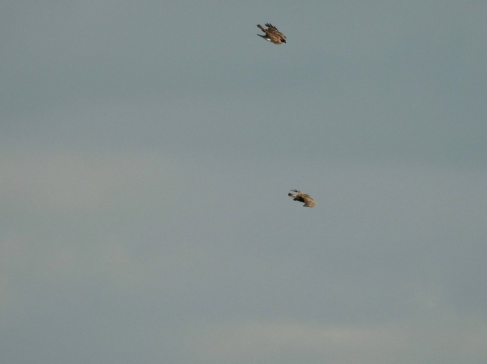 Two buzzards in the Sussex sky