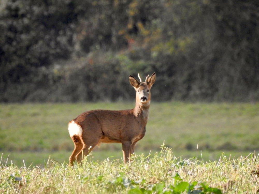 One of two roe deer wandering through a field