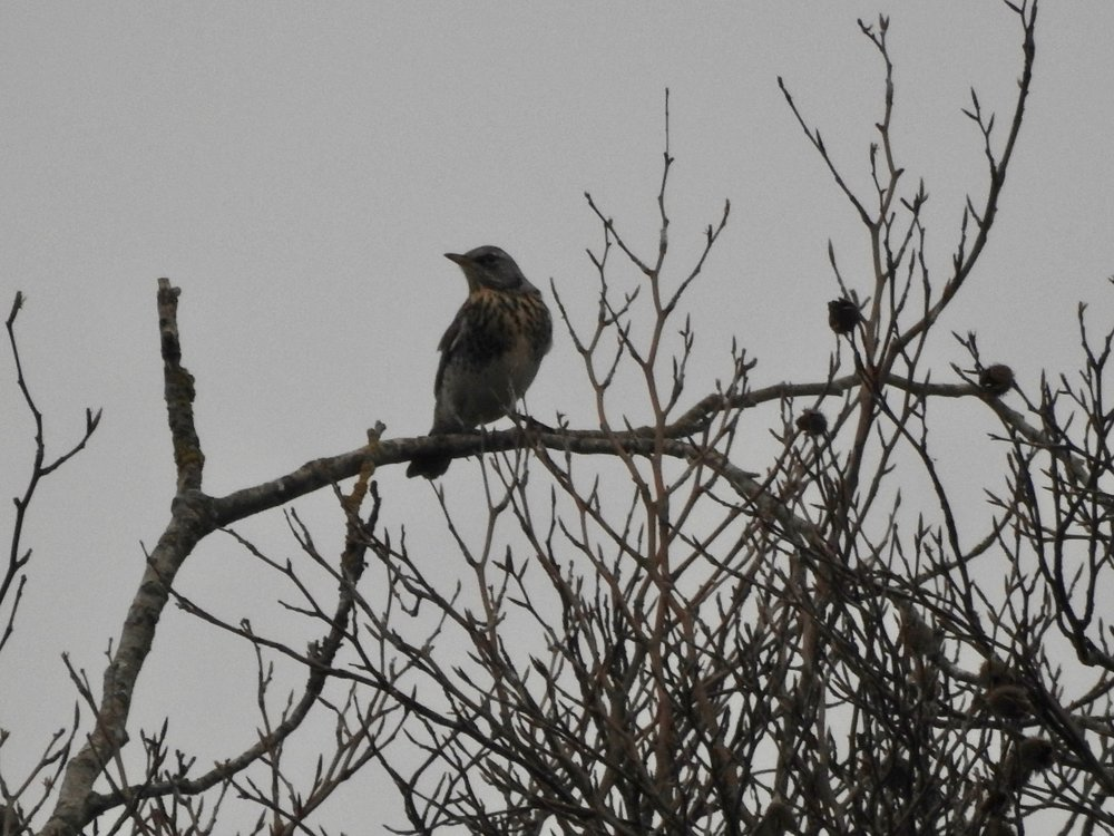 My first fieldfare of the year!
