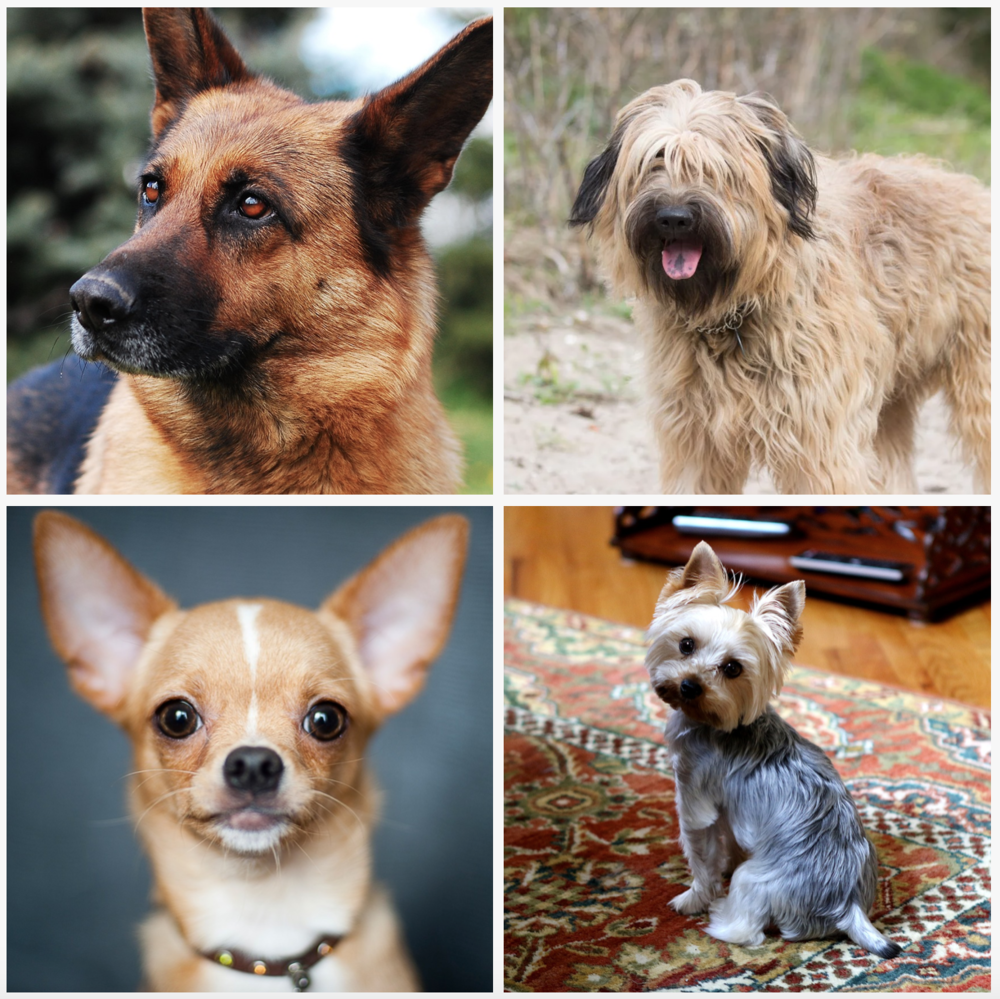 Pablo's genetic mixture: German Shepherd (top left), Catalan Sheepdog (top right), Chihuahua (bottom left) and Yorkshire Terrier (bottom right)