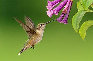 hummingbird-300x199.jpg