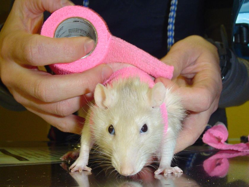rat_bandage1.jpg