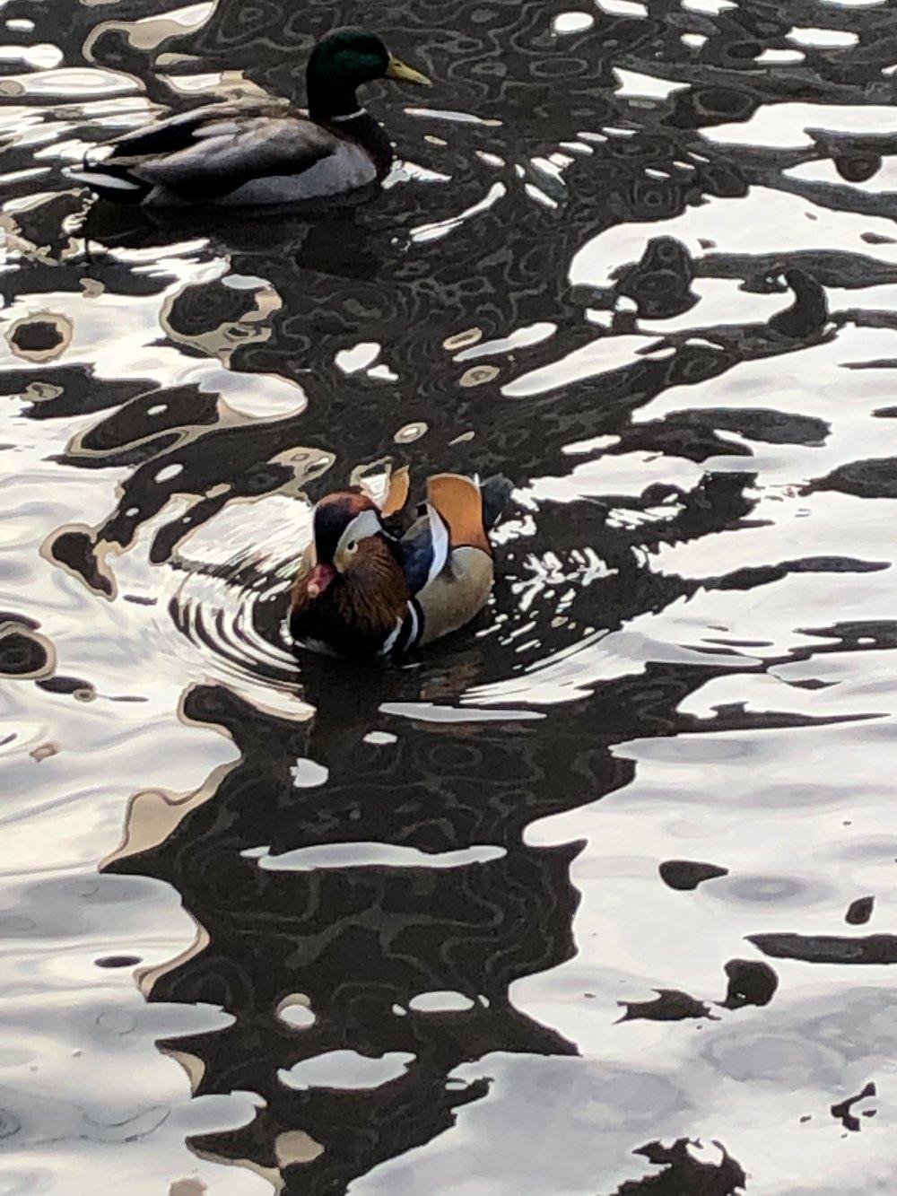 Hot Duck 2 .JPG