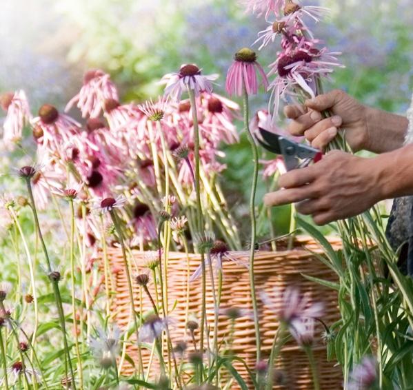harvesting basket echinacea_Office3276.jpg