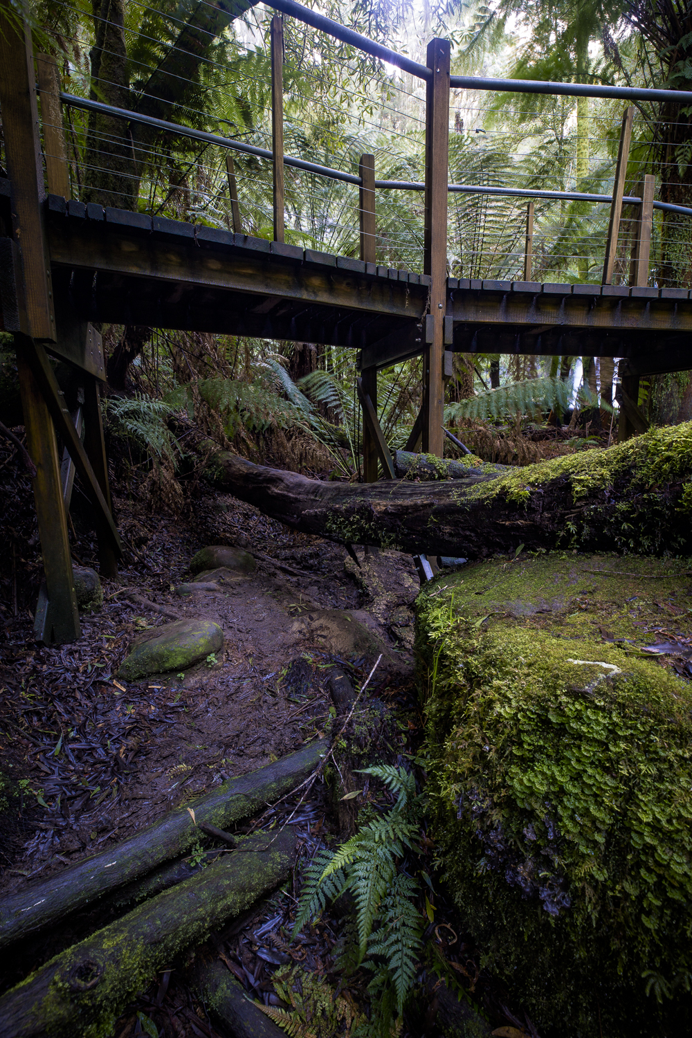 The path that has been carved beneath the boardwalk to the viewing platform. Visitors take this path or climb the barriers. No moss remains on this log as visitors must climb it to gain access.