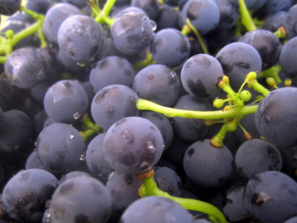 Levadura S.Bayanus en las pieles de las uvas