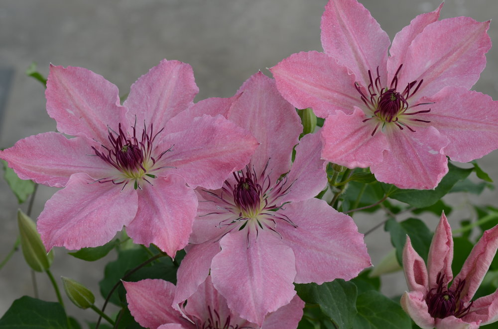 The Guernsey Clematis - Image.jpg