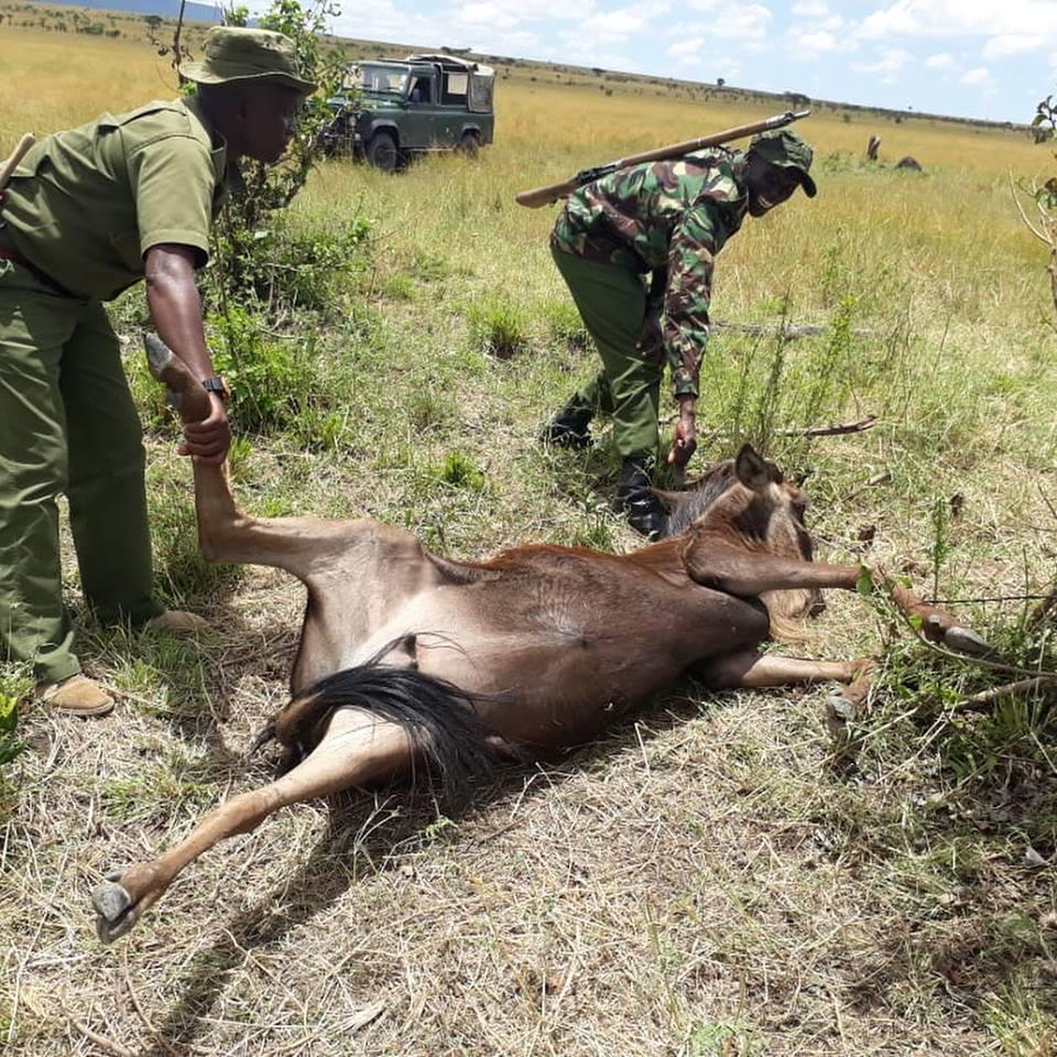 wildebeest-snared-aktf-rangers