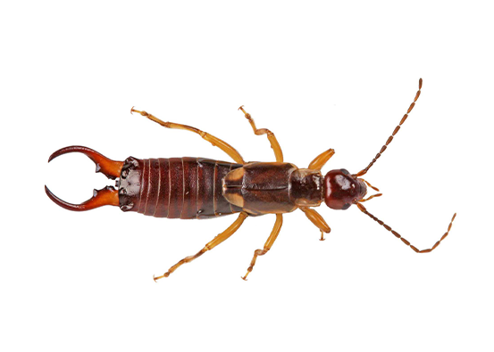 Addison Pest Control is the earwig specialist. We have never failed to eliminate a earwig infestation.
