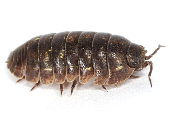 Addison Pest Control is the pillbug specialist. We have never failed to eliminate a pillbug infestation.