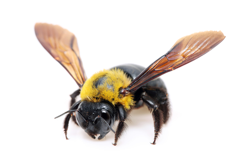 How serious are carpenter bees