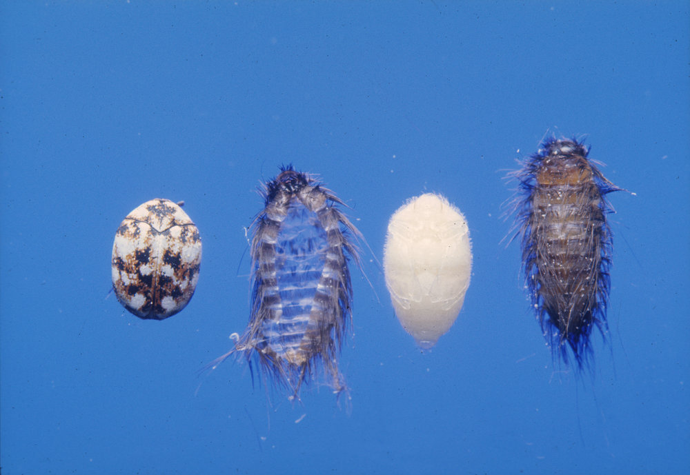Carpet Beetle Eggs and Larva