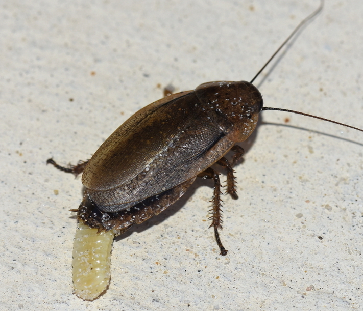 cockroach egg sacks are called ootheca