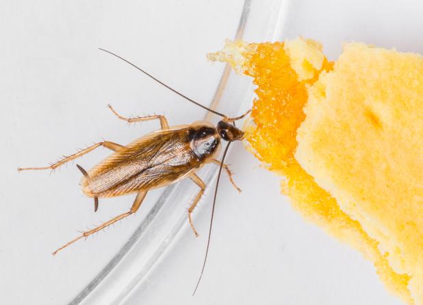 cockroach odour
