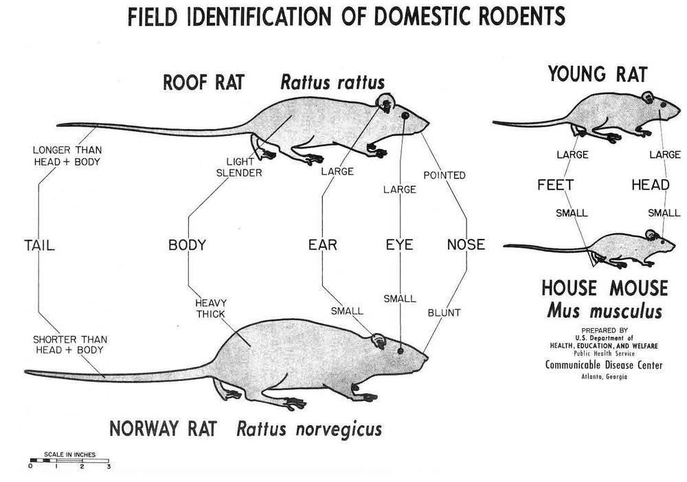 Identifying Rodents