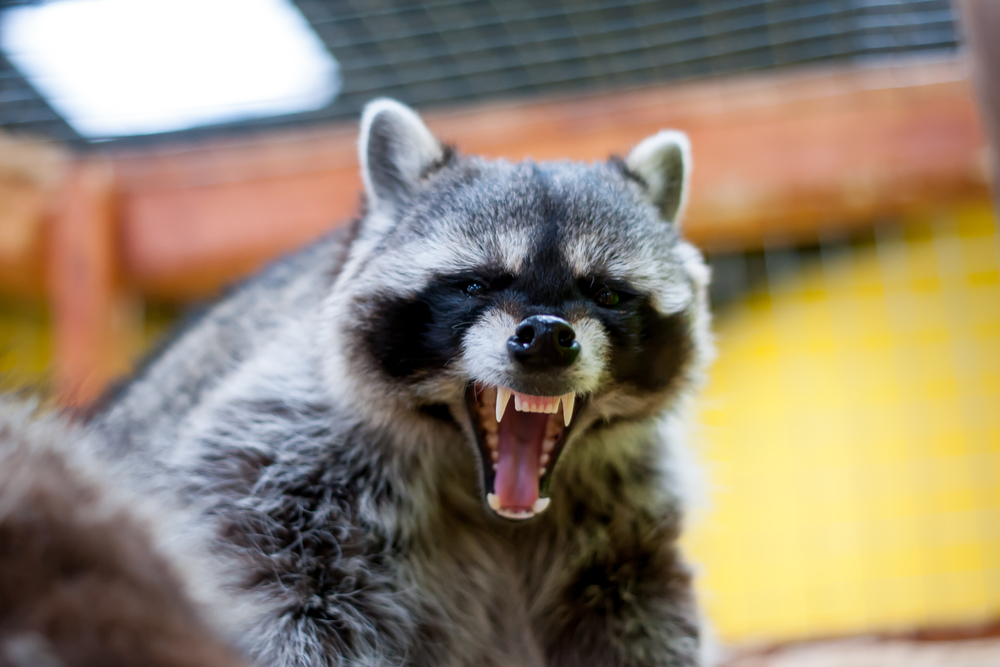 Are raccoons dangerous?