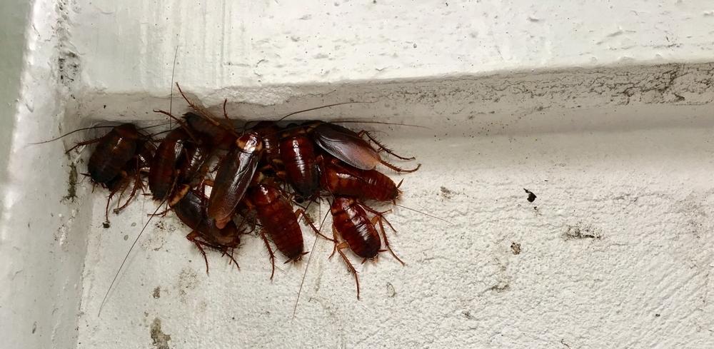 cockroach aggregation pheromones